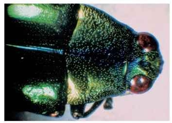 This beetle shows the metallic coloration typical of many beetles and flies. Such colors may have at least two possible origins: they may be caused by a thin film stack in the exocuticle (or sometimes the endocuticle) (Fig. 6D) or they may be the result of a helicoidal arrangement of chitin fibrils in the exocuticle (Fig. 6E). The latter effect is analogous to that produced by certain types of liquid crystal in common technological use. The red and black coloration in the eyes, on the other hand, is almost certainly pigmentary.