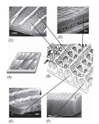 """Closer look at the investiture (scales and bristles), which in the Lepidoptera typically carries the color. Scales and bristles are complex cuticular structures each elaborated by a single cell, and they are often both pigmentarily and structurally colored. (A) As in Fig. 6A, a patch of cuticle surface showing several overlapping scales and one empty socket. (B) Diagrammatic view of a small fragment of a more or less typical unspecialized scale. The scale may be thought of as a flattened sac, the two surfaces of which are joined by fine pillars. (A bristle would be cylindrical, rather than flattened, but it is essentially the same type of structure.) The upper surface is a rectangular grid made up of longitudinal ridges (r) joined at regular intervals by transverse crossribs from which, in some species, hang pigment beads (arrows); in other insects, pigment is incorporated into the general cuticle. Ridges and crossribs together frame a series of windows opening into the interior of the scale. Virtually any part of this basic scale may be elaborated into a reflective structure. In the following examples, scales have been fractured to show their interior structures; lines indicate which basic scale structures have been elaborated to produce each structural color. [Modified from Ghiradella, H. (1998). Hairs, bristles and scales. In """"Insecta."""" (M. Locke, ed.), Vol. 11A of """"Microscopic Anatomy of Invertebrates"""" (F. W. Harrison, ed.), pp. 257-287. Wiley, New York. © 1998 John Wiley & Sons. Reprinted by permission of John Wiley & Sons.] (C) Papilio zalmoxis, fragment of upper scale surface. The ridges are low and unornamented, but the crossribs have """"filled in"""" the windows with a network of """"alveolae"""" that may scatter light to produce a Tyndall blue color (compare Fig. 2) or contribute to a more complex optical effect (see text). Bar, 1 urn. (D) Morpho menelaus, fragment of deep blue iridescent scale, fractured longitudinally to show a side view of a ridge (r), together wi"""