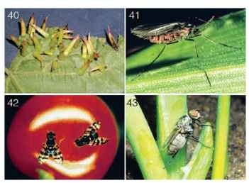 (40) Cecidomyiid gall on grape leaves. (Photograph by R. Isaacs.) (41) Hessian fly (Cecidomyiidae: Mayetiola destructor). (42) Cherry fruit fly adults (Tephritidae: Rhagoletis cingulata) on cherry. (Photographs by Department of Entomology, Michigan State University.) (43) Onion maggot adult (Anthomyiidae: Delia antiqua).