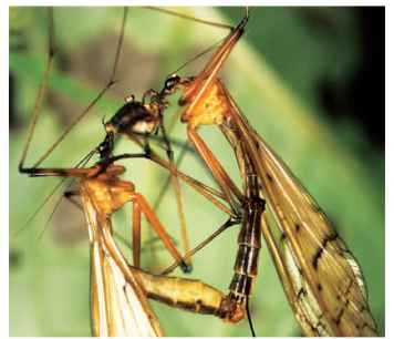 Mating pair of Japanese bittacids feeding on nuptial prey (an opilionid) initially offered to the female by the male.