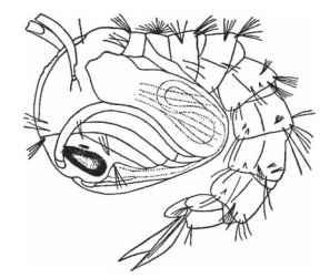 A mosquito pupa.