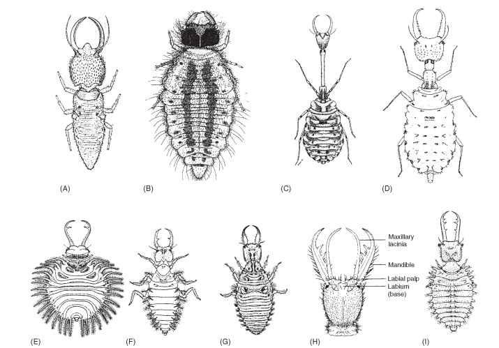 Myrmeleontiform larvae: (A) Psychopsidae; (B) Nemopteridae; (C) Crocidae; (D) Crocidae; (E) Nymphidae (Myiodactylinae); (F) Nymphidae (Nymphinae); (G) Myrmeleontidae; (H) Myrmeleontidae; (I) Ascalaphidae.