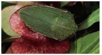 Coleotichus blackburniae (Scutelleridae).