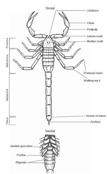 Scorpions insects dorsal and partial ventral views of scorpion showing the distinctive body segmentation tagmosis and ccuart