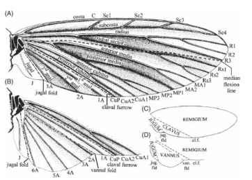Wing nomenclature. A more traditional system, showing veins, some flexion and fold lines, and the main areas of the wing. (A, C) A forewing or a hind wing lacking an expanded ano-jugal area. (B, D) Cubital and anojugal region of hind wing with an expanded anojugal area.