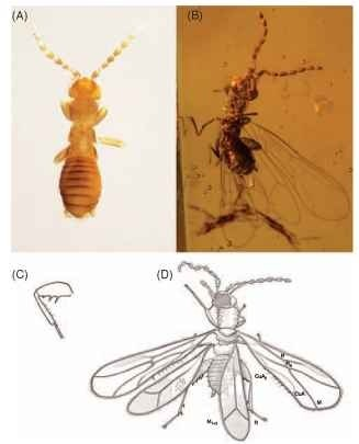 (A) Adult female of Zorotypus huxleyi (most legs curled under body), blind-apterous morph. (B) Alate female of Z. goeleti1 in Miocene amber from the Dominican Republic. (C) Hind leg of Z. huxleyi depicting femoral and tibial spines. (D) Alate of Z. nascimbenei1 in Cretaceous amber from Myanmar, with wing veins labeled.