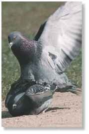 A Any time, anywhere The pigeon can breed any time of year and may raise a brood every two months.