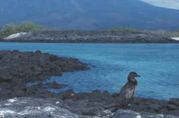 A Island home Once capable of flight, the flightless cormorant now only swims and walks around the beautiful Galapagos Islands.