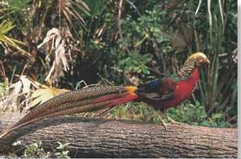 Rare appearance The golden pheasant rarely ventures from cover.