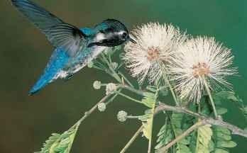 A Island life The bee hummingbird is native to two Cuban islands.