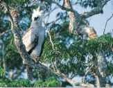 A High born The harpy eagle lives and breeds in lofty branches.