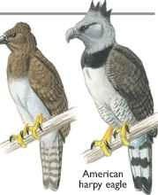 New Guinea harpy eagle & American harpy eagle