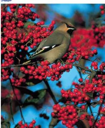 A Seeing red The waxwing is attracted by trees with ripe berries.