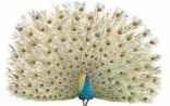 Common peafowl