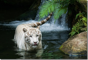 white-tiger-nature-forest