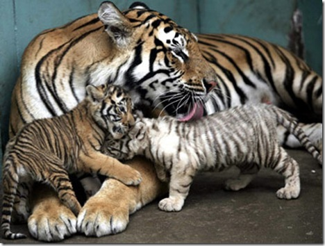 tianjin-twin-tiger-cubs2