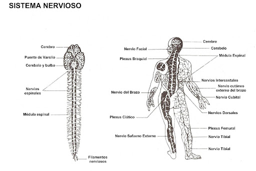 Free nervous system coloring pages