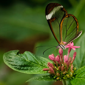 Glasswing by Gabrielle Libby - Animals Insects & Spiders ( clear, butterfly, wing, green, glass, bug, pink, glasswing, insect,  )