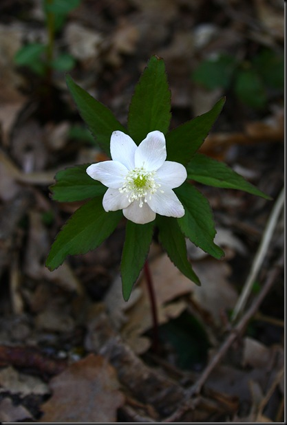 anemone trifolia1