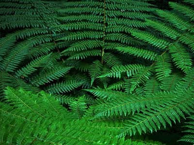kidds-bush-fern-8.jpg