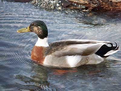duck-7.jpg