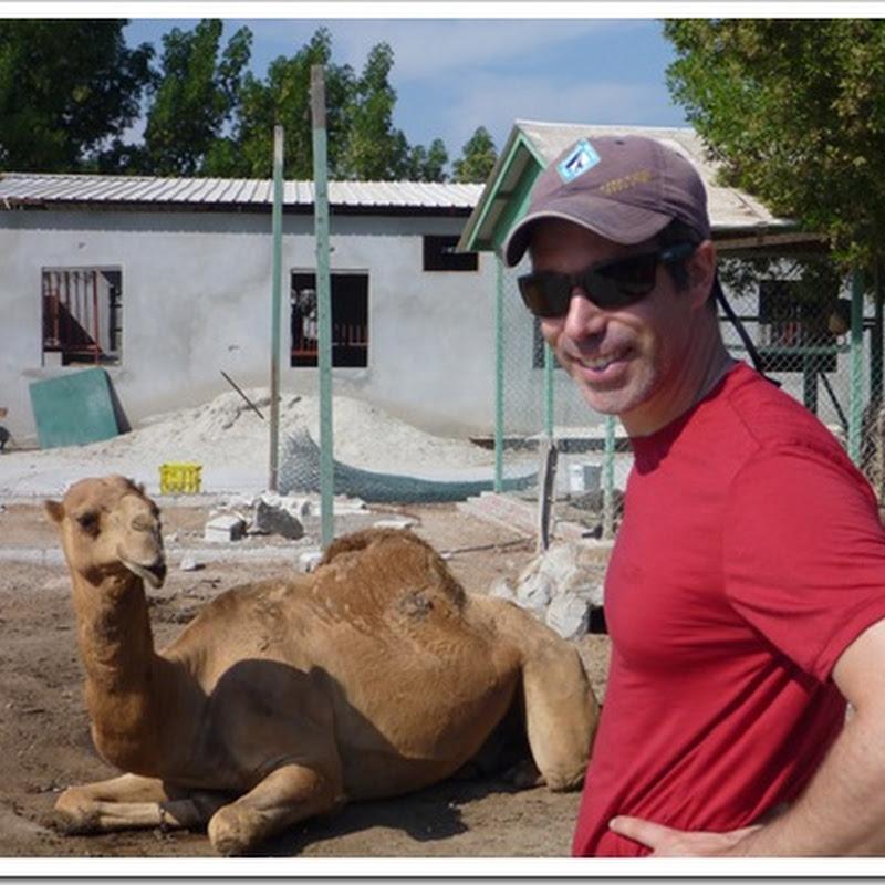 Bahrain: Eat, drink, camel