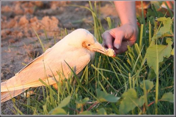 O corvo branco (1)