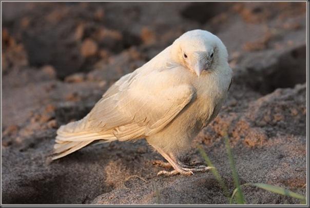 O corvo branco (2)