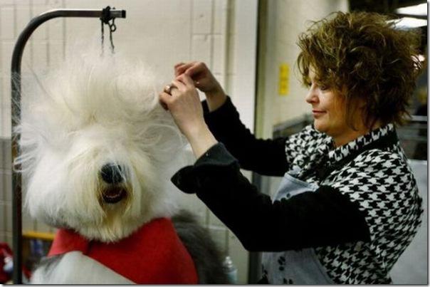 Belos e estranhos penteados caninos (7)