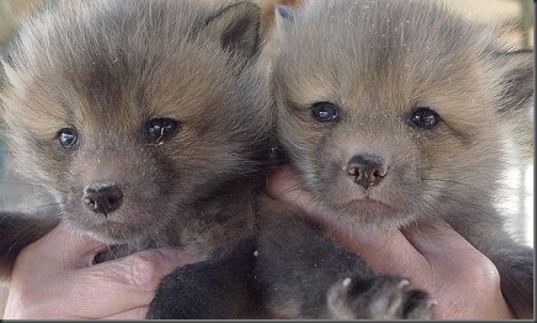 Filhotes de raposa (7)