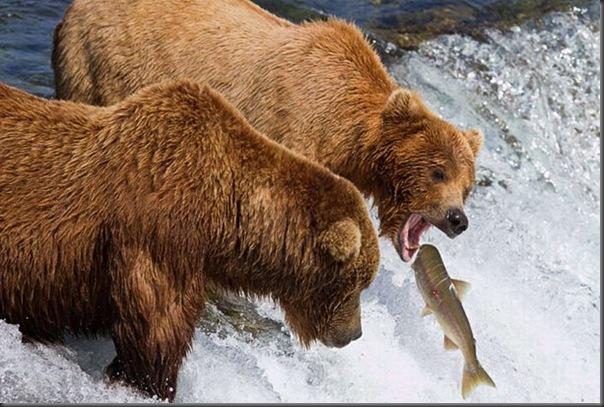 A pesca dos ursos em um rio no Alasca (4)