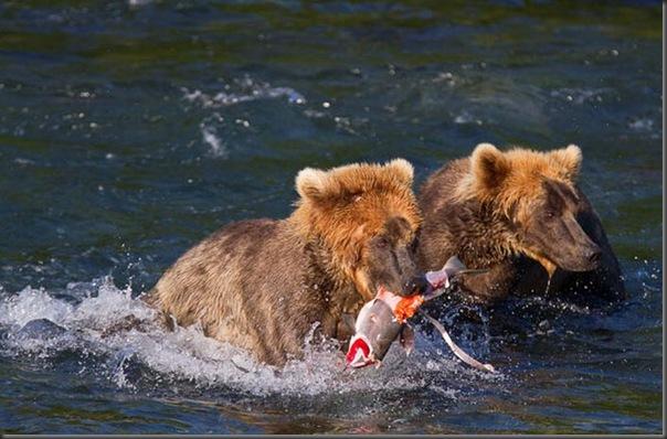 A pesca dos ursos em um rio no Alasca (9)