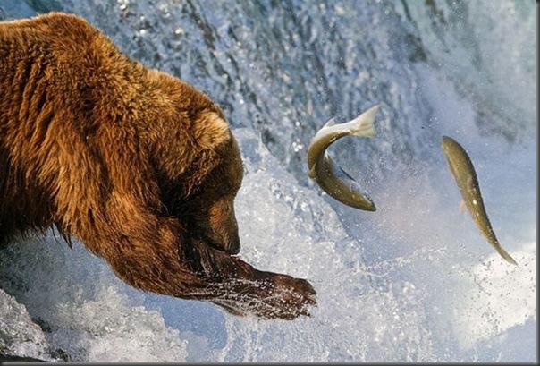 A pesca dos ursos em um rio no Alasca (5)