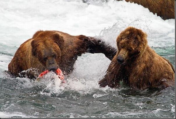 A pesca dos ursos em um rio no Alasca (2)