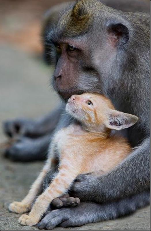 Macaco adota um gatinho (5)