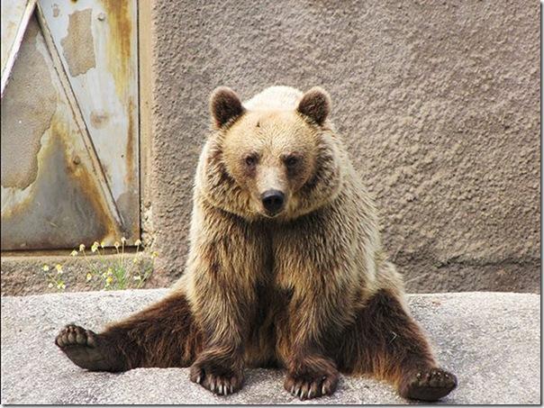 Urso praticando Yoga (6)