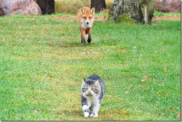 raposa gato caça