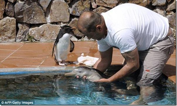 Um pinguim fica amigo de um golfinho bebê (1)