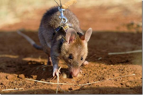 Ratos são treinados para detectar minas terrestres (4)