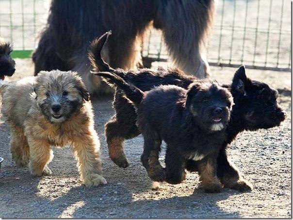cães extintos na coreia recuperação (6)