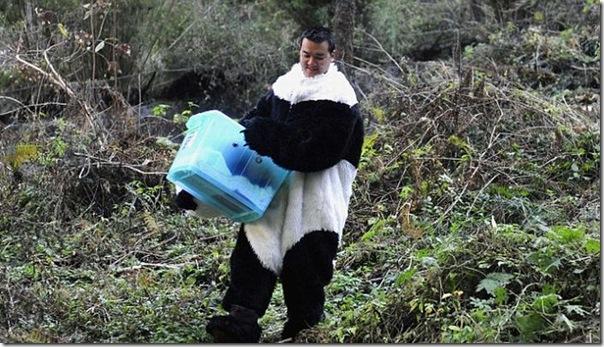Preparando ursos bandas para a vida selvagem (3)