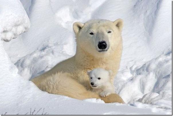 Ursa polar e seus filhotes (2)