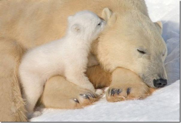 Ursa polar e seus filhotes (3)