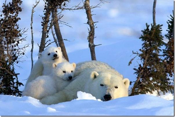 Ursa polar e seus filhotes