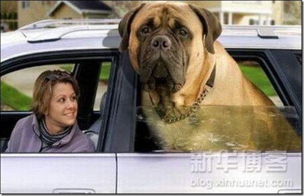 Cães gigantes (7)