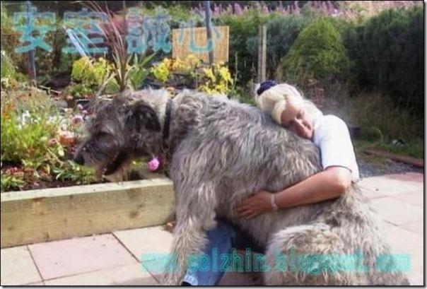 Cães gigantes (15)