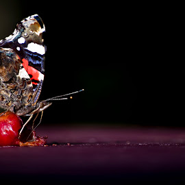 Butterfly Red Admiral by Kristian Pikner - Animals Insects & Spiders ( estonia, butterfly, butterfly red admiral, red admiral, admiral, insects,  )