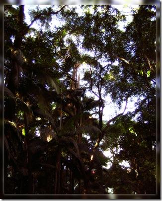 paulista trees