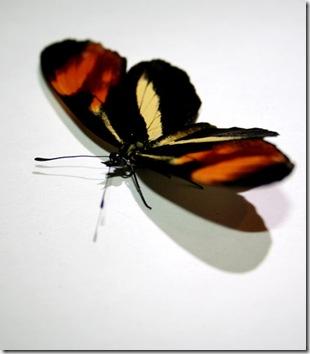 butterfly-JurgisLasevicius