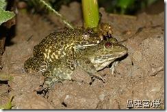 虎皮蛙-呂建富提供